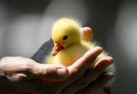 Виведення молодняку птиці залежить від якості яєчної шкаралупи