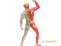 Объемная анатомическая модель 'Мускулы и скелет человека'