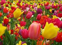 Тюльпаны набор  10 шт (3 разбор)