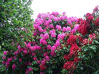 Рододендрон, азалия садовая