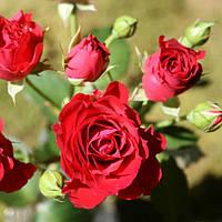 Роза Спрей Красная