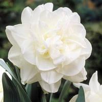 Луковичные растения Нарцисс махровый  Obdam