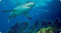 """""""Жир печени катрана (акулы) """"- для лечения, укрепления и профилактики организма в целом.(250мл)"""