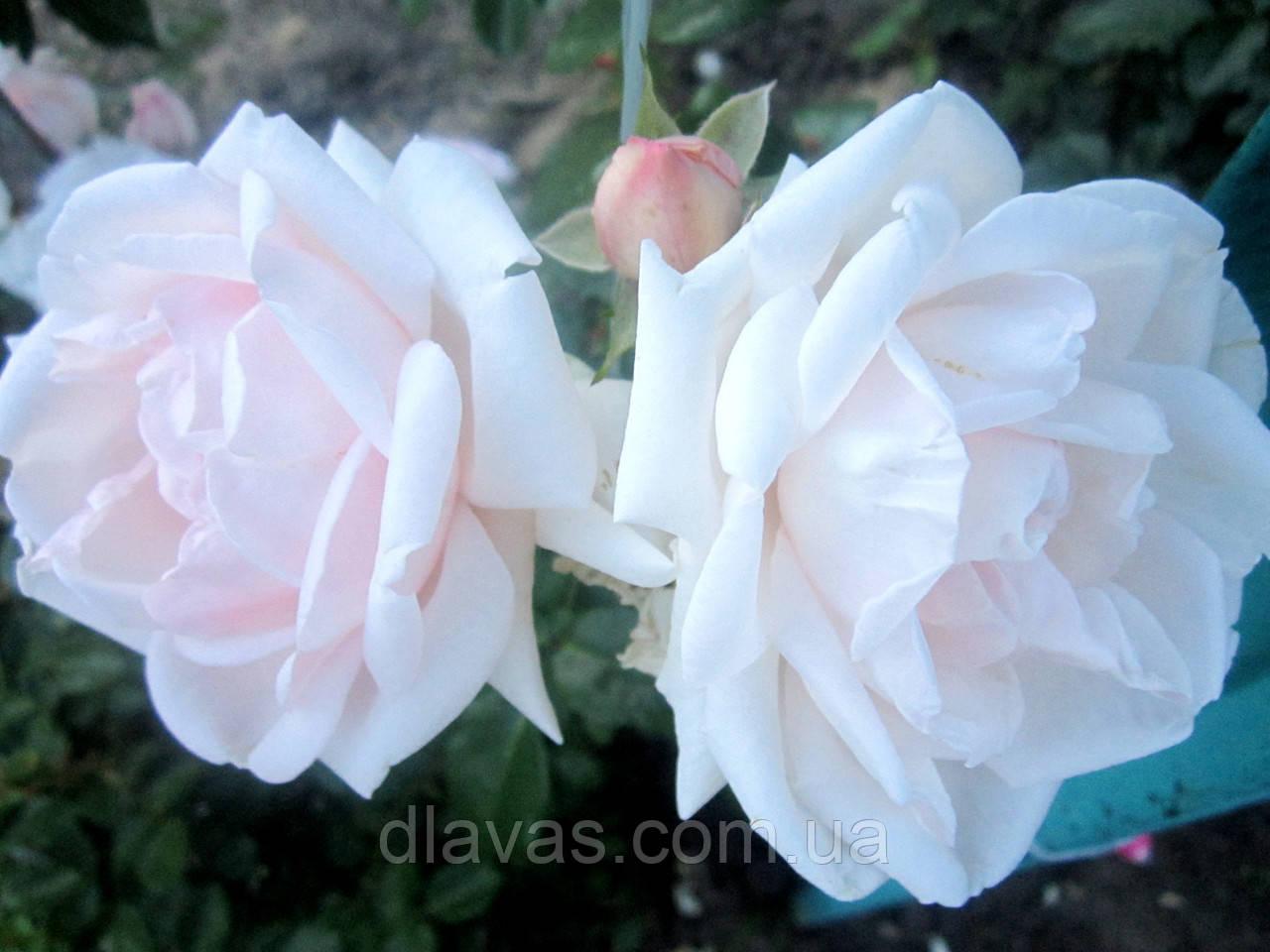 Плетистая корнесобственная. Нежно розовая. (Цветёт с весны до морозов)