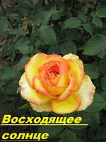 Саженцы, кусты роз: Восходящее солнце