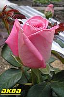 Саженцы кустарники роз Аква.