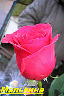 Саженцы кустарники роз Мальвина
