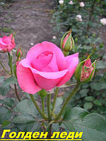 Саженцы роз Голден леди.