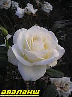 Саженцы, кусты чайногибридных роз. Аваланш