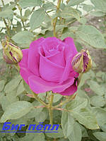 Саженцы, кусты чайногибридных роз. Биг Пёпл