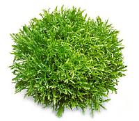 Семена салата СИГАЛ (Эндивий) 1000 семян Rijk Zwaan
