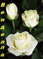 Саженцы, кусты чайногибридных роз. Венделла