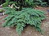 Ялівець козацький 'Tamariscifolia', контейнер С3 a-0,30-0,40