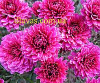 Хризантема мультифлора, фото 1