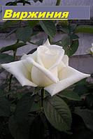 Саженцы, кусты чайногибридных роз. Виржиния