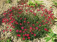 Гвоздика травянка красная, контейнер Р9