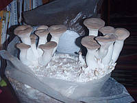 Грибний блок королівської гливи (еринги), фото 1