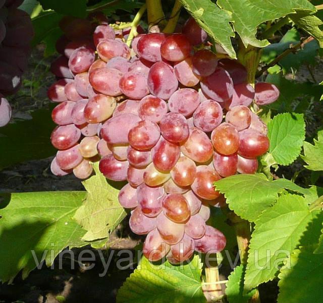 Однолетние саженцы столовых сортов винограда по цене черенков ПРЕОБРАЖЕНИЕ, ЛИВИЯ, АРОЧНЫЙ