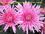 Хризантема шарообразная РОЗОВАЯ ИГОЛКА, фото 2