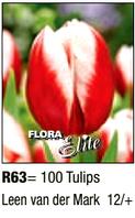 Tulipa Triumph Leen van der Mark R63
