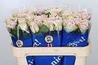 Роза голландская сорт  Fifth Avenue