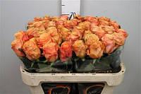 Роза голландская сорт  Olympus