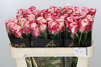 Роза голландская сорт Sweetness