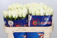 Роза голландская сорт  Akito