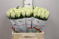 Роза голландская сорт Athena