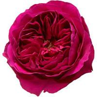 Роза остина. Пионовидная роза. Сорт Austin Darcey