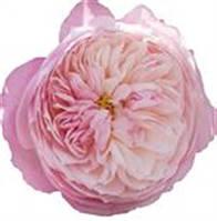 Роза остина. Пионовидная роза. Сорт Austin Constance