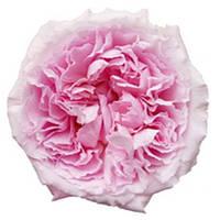 Роза остина. Пионовидная роза. Сорт Austin Miranda