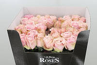 Роза голландская сорт Avalanche Pink