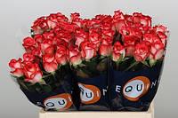 Роза голландская сорт Blush