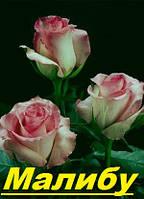 Саженцы, кусты чайногибридных роз. Малибу
