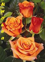 Саженцы, кусты чайногибридных роз. Мильва
