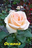 Саженцы, кусты чайногибридных роз. Осиана