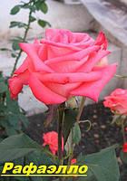 Саженцы, кусты чайногибридных роз. Рафаэлло