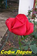 Саженцы, кусты чайногибридных роз. Софи Лорен