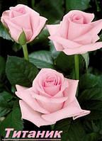 Саженцы, кусты чайногибридных роз. Титаник
