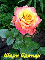 Саженцы, кусты чайногибридных роз. Шери Бренди