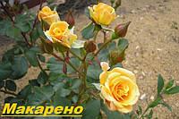 Саженцы, кусты миниатюрных роз. Макарено