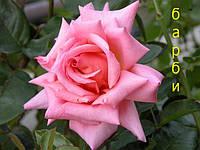 Саженцы кусты вьющихся плетистых роз. Барби