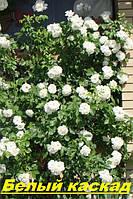 Саженцы кусты вьющихся плетистых роз. Белый каскад