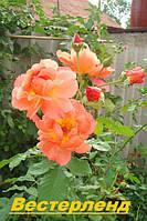 Саженцы кусты вьющихся плетистых роз. Вестерленд