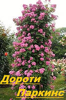 Саженцы кусты вьющихся плетистых роз. Дороти Паркинс