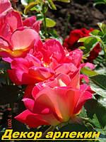 Саженцы кусты вьющихся плетистых роз. Декорарлекин