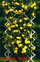 Саженцы кусты вьющихся плетистых роз. Лаура Форд
