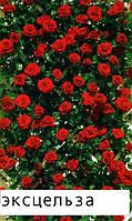 Саженцы кусты вьющихся плетистых роз. Эксцельза