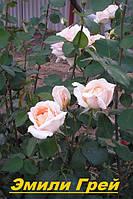 Саженцы кусты вьющихся плетистых роз. Эмели Грей